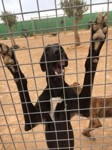 Black galgo