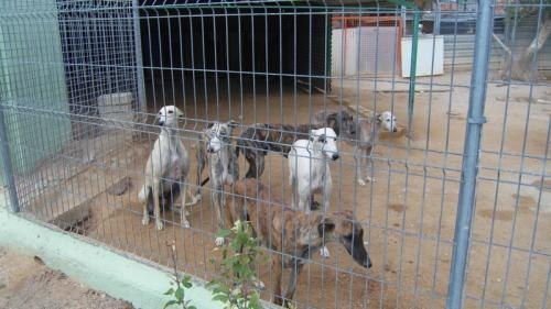 Galgos in a rescue shelter