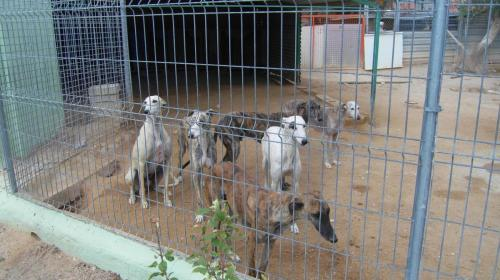 Rescued galgos in a shelter