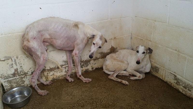 Galgos muertos de hambre y descuidados / Starved and neglected galgos