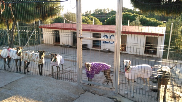 Rescued galgos