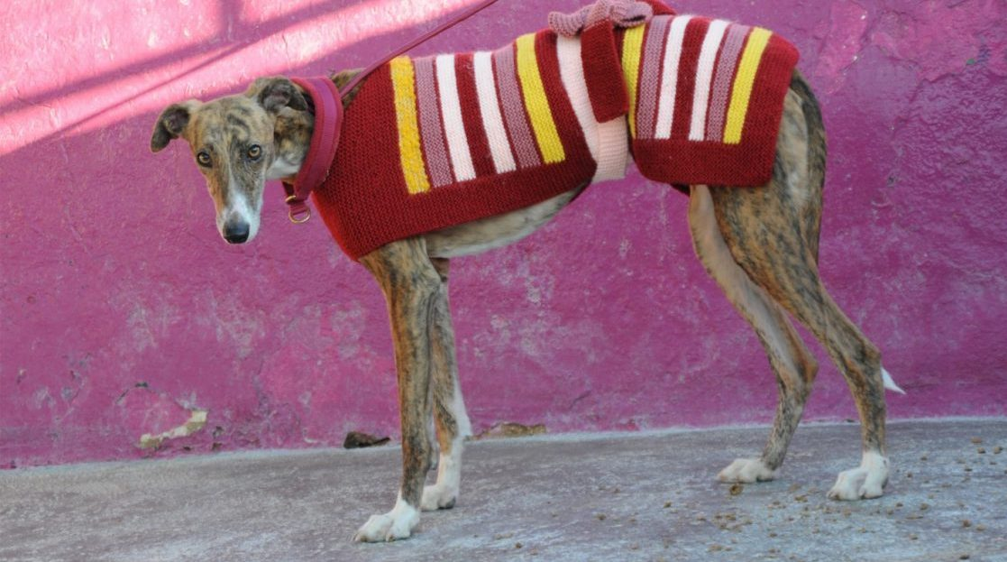 Knit for the galgos