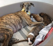 Galga and puppies