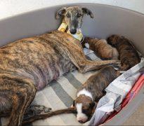 Galga and puppies