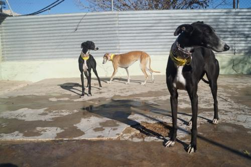 Galgos at Arca de Noe getting ready for the transport to GACI in Italy