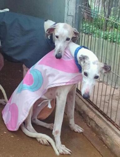 Galgos feel the cold