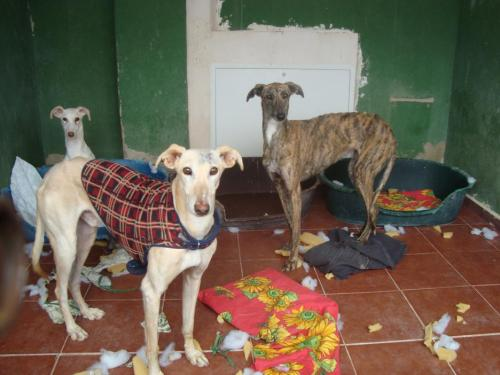 Galgos in the shelter